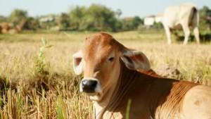 Plénière «La filière économique du veau en Dordogne»